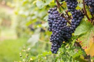 Uma das uvas mais admiradas pelos enófilos, a pinot noir é exigente em relação ao clima, ao tipo de solo e aos métodos de elaboração dos vinhos