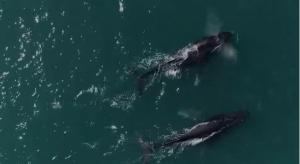 Nos meses de inverno, as baleias jubarte procuram o litoral capixaba para se reproduzir, mas, por conta da pandemia do coronavírus, o acompanhamento dos animais foi atrasado