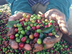 Tradicionalmente, as primeiras frutas do cafezal começam a ser colhidas em abril, após a Semana Santa. Neste ano, esse início está sendo em maio, em algumas regiões