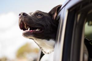 É bom saber que as leis que regem o transporte de animais dentro de veículos são claras e bem rígidas e variam de infrações médias a graves e são passíveis de multa