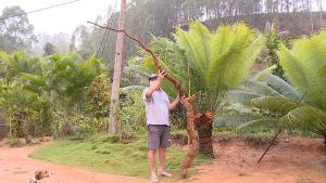 O agricultor Luis Carlos Casagrande levou mais de 20 minutos para colher a 'super mandioca' em sua propriedade, que fica em Córrego Lagrimal