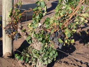 17 de abril é a data para celebrar a uva Malbec, que faz mais sucesso na Argentina do que em Cahors, na França, onde começou a ser cultivada