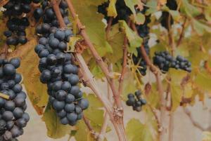 Nesta época fria, algumas vinícolas das montanhas capixabas estão com as videiras carregadas de uvas maduras, como a Cabernet Sauvignon, e a coluna acompanhou parte da colheita