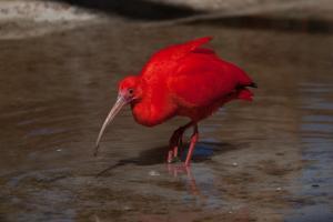 Guará, ave de plumagem avermelhada e que tem essa coloração por conta da alimentação predominantemente feita à base do caranguejo, tem incidência em outras regiões litorâneas, porém não na costa capixaba