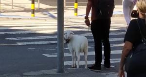 Conheça a história de Tapioca, um cordeiro de oito meses que é amigo de todos os animais, inclusive do ratinho Perebas; Tapioca fez sucesso no Twitter após ser flagrado por uma arquiteta passeando pelas ruas de Vila Velha