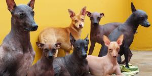 'My Hot Water Bottle': Peru Loves Its Hairless Dog, Especially on Cold Nights