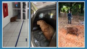 Acionada, a Polícia Militar Ambiental resgatou o animal, que foi solto em uma mata na manhã desta sexta-feira (3)