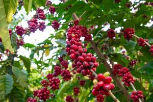 Venda de café em grãos, celulose e especiarias, por outro lado, fez com que as exportações do agronegócio capixaba terminassem o período registrando alta de 19,3% frente ao trimestre anterior