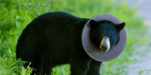 Locals Try Helping a Troubled Neighbor—a Bear With a Trash Lid Stuck Around Its Neck