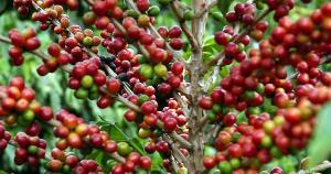 Neste Dia Mundial do Café, o chamado ouro verde se mantém como um importante motor da economia brasileira, atingindo níveis históricos mesmo durante a recessão