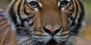 Tiger at Bronx Zoo Believed to Be First Animal to Exhibit Symptoms of Covid-19