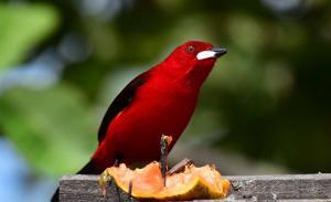Seja na fiação dos postes de luz das ruas, seja nos parques ou nas praças, é possível encontrar grande diversidade de espécies de aves. Em meio ao caos urbano, os olhos e os ouvidos mais atentos podem vê-los e ouvi-los, como os dos fotógrafos de A Gazeta Ricardo Medeiros e Vitor Jubini