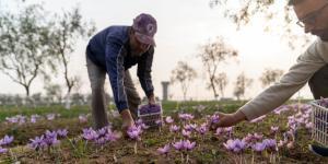 Kashmir's $1,000-a-Pound Saffron Crop Withers After India Lockdown