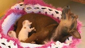 Cristal, que nunca teve filhotes, passa o dia cuidando de seis gatinhos. Segundo a dona dos animais, a cadela já começou até a produzir leite