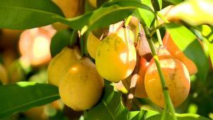 Famílias em Itarana têm apostado no cultivo da fruta, que é agridoce e de nome difícil: achachairu. Para o consumidor final, o valor passa de R$ 20 o quilo. Planos são de aumentar a produção e vender para fora do Estado