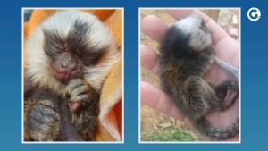 Segundo o biólogo Saulo Ramos, da Gerência de Bem-Estar Animal da Semmam, é provável que o animal tenha se soltado do colo da mãe antes da queda