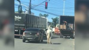 Imagem surpreendente feita nesta sexta-feira (12) mostra imprudência do condutor, que colocou a vida de outras pessoas e do animal em perigo