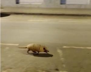 Flagrante foi feito durante a noite de terça-feira (09). Com cidade vazia, animal percorreu tranquilamente uma das principais avenidas por cerca de 200 metros