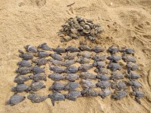 Ninho teve filhotes perdidos devido à compactação da areia pelo tráfego de carros na Praia do Bosque, em Guriri, São Mateus. Local é área de desova das tartarugas marinhas no Norte do Espírito Santo
