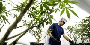 Marijuana Madness Turns Into a Cannabis Crash
