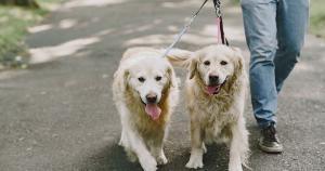É impressionante como os cães nos surpreendem com sua inteligência, com sua cumplicidade e ainda com sua capacidade de serem os responsáveis pelos passos seguros das pessoas com deficiência visual em sua caminhada
