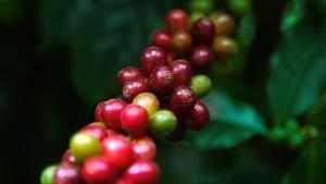 Setor cafeeiro do Estado segue fazendo história, gerando mais de 3,5 milhões de empregos diretos e indiretos. Muitos mais serão ofertados com a chegada de novas indústrias de beneficiamento