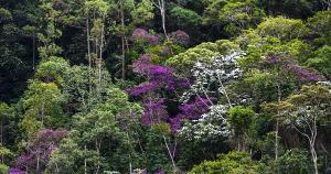 Nesta época do ano, árvores nativas da Mata Atlântica florescem e embelezam a paisagem da região serrana do Espírito Santo.