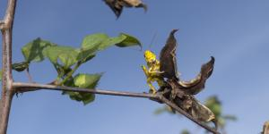 Swarms of Locusts Destroy Huge Swaths of Farmland in East Africa
