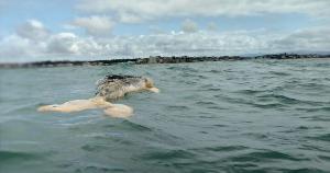 O mamífero já estava em estado avançado de decomposição. Segundo o Instituto Orca, trata-se de um animal jovem, com mais de seis metros e pesando mais de 12 toneladas