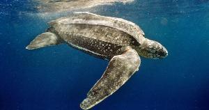 Único local de desova regular no país é a foz do Rio Doce; espécie pode chegar a quase 2 m de comprimento e nadar mais de 7 mil km por ano