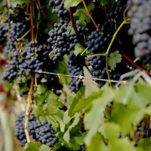 A falta de competitividade perante os vinhos importados e a carência de profissionais qualificados tecnicamente para consultoria estão entre os entraves citados por viticultores capixabas