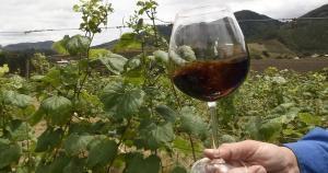Nos passeios, é possível conhecer de perto o processo de elaboração da bebida, colher uvas no parreiral e até degustar uma tacinha