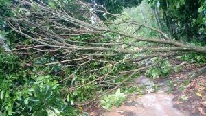 Na localidade de Nova Esperança uma árvore caiu durante a chuva na tarde desta quinta-feira (03) e fechou uma estrada. A prefeitura já está providenciando a liberação da via