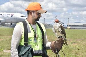 Três espécies de aves de rapina se revezam no afugentamento de outros pássaros que colocam em risco a operação no terminal