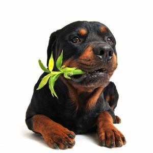 A comentarista Tatiana Sacchi, do Clube Pet CBN, explica que algumas espécies utilizadas na decoração podem parecer inofensivas, porém apresentam grandes perigos