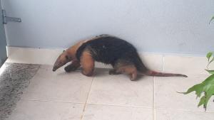 Animal apareceu em uma chácara e chegou a ser atacado por um cachorro. Para proteger o mamífero, a moradora do local o abrigou em casa até a chegada da Polícia Ambiental