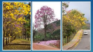Legislação também define o dia 21 de agosto para homenagear o ipê, entre outras medidas. Prefeitura pretende plantar mais 3 mil novas mudas até 2024 e criar um bosque