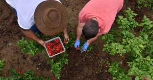 Ao ganhar cinco sementes da espécie Carolina Reaper, o produtor rural Rodrigo Batista desenvolveu uma lavoura que produz frutos transformados, posteriormente, em molhos e geleias. Produtos aquecem, literalmente, o paladar de muitos capixabas
