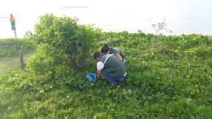 Ação de coleta do chamado 'caramujo africano' acontece principalmente nas áreas de restinga na orla do município. Mutirão se estende até a próxima quinta-feira (25)